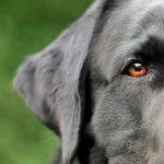 Black Labrador Est-ce le plus intelligent?