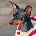 Le nanisme chez les chiens Quelles sont les causes et que pouvons-nous faire?