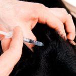 Dosage et types d'insuline pour les chiens diabétiques
