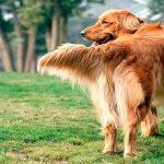 Que signifie remuer la queue d'un chien ?
