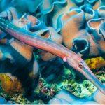 Poisson trompette : habitat et caractéristiques
