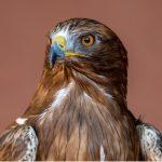 Aigle botté : habitat et caractéristiques