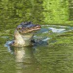Différences entre alligator et crocodile