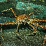Crabes de mer de Béring : types et pêche