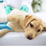 12 signes de douleur chez le chien