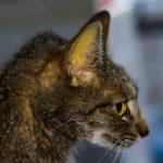 Jaunisse chez le chat : symptômes, causes et traitements
