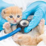 Giardiase chez le chat : symptômes, infection et traitements
