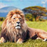Comportement des lions