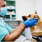 Paralysie faciale chez le chien : symptômes, causes et traitements