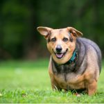 Surpoids chez le chien : ce qu'il faut savoir