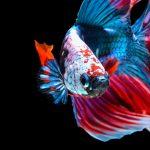 10 curiosités du poisson betta