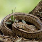 Couleuvre échelle: habitat et caractéristiques