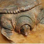Tortue Swinhoe : habitat, caractéristiques et conservation