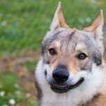 Chenil chien loup