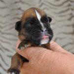 Chenil chien boxer