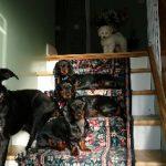 Chenil chien geneve