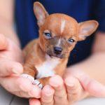 Conseils santé Chihuahua