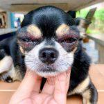 Infection oculaire chez les chiots: types et causes