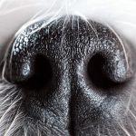Le nez du chien: 6 curiosités