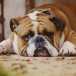 Pourquoi les chiens sont-ils plus susceptibles de souffrir de diabète?