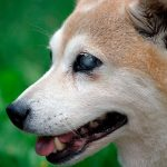 Soins pour chiens aveugles