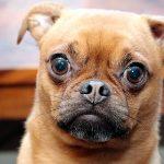 La proptose oculaire chez le chien Comment agir?