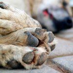 Intoxication par un chien - Symptômes et premiers secours