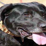 A quoi ressemble un chien de berger de Majorque? - Caractéristiques et soin