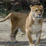 Le tigre: d'où vient son nom?