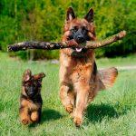 Le berger allemand est-il un chien qui me convient?