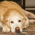 L'arthrite au Labrador Retriever