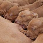 Mortalité néonatale chez les chiots: 4 causes