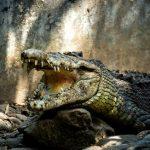 5 virus qui affectent les crocodiles