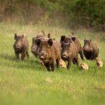 Quelle est la déclaration d'urgence de chasse?