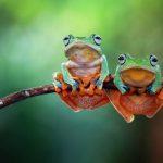 La pilule contraceptive chez les amphibiens, un effet dévastateur