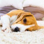 Hémangiosarcome chez le chien: causes et symptômes