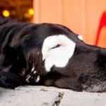 Qu'est-ce que le vitiligo et comment affecte-t-il les chiens?