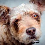Épilepsie chez le chien - Symptômes, traitement et action
