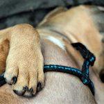 Quand et comment effectuer une RCP sur un chien (réanimation cardiopulmonaire)