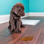 Comment éliminer l'odeur d'urine de chien - Remèdes à la maison