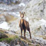 Capture d'animaux sauvages: les chamois
