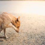 Symptômes de la gale sarcoptique chez le chien