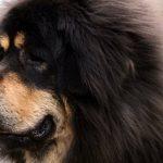 Le Mastiff Tibétain - Caractère, comportement et soin