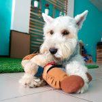 Schnauzer nain - Caractère, comportement et soins recommandés