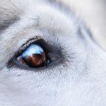 Chiens et verrues autour des yeux: traitements