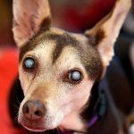Qu'est-ce qui cause la cataracte chez le chien? Origine, symptômes et traitement