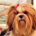 10 races de chiens à poil long avec photos et caractéristiques