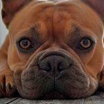Dermite de levure chez le chien - Causes et traitement