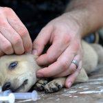 Remèdes à la maison pour éliminer les tiques chez les chiens