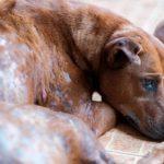 La gale chez les chiots: cause et symptômes